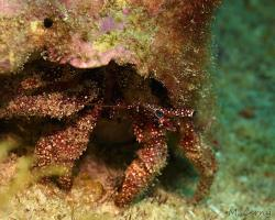 Poustevníček hvězdooký - Dardanus venosus - stareye crab
