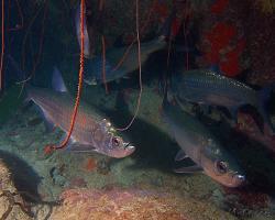 Tarpon atlantský - Megalops atlanticus - Atlantic tarpon