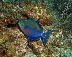 Ostenec chřestivý - Balistes vetula - Queen triggerfish