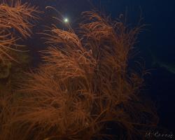 trnatec - Antipathes caribbeana - Bushy Black Coral