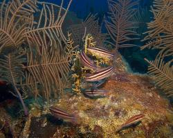 Ploskozubec páskovaný - Scarus iseri - Striped Parrotfish