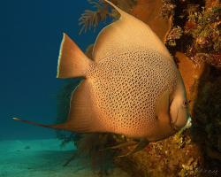Pomec velkoploutvý - Pomacanthus arcuatus - grey angelfish