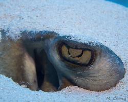 Trnucha americká - Dasyatis americana - southern stingray