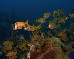 Chrochtal prasečí - Anisotremus virginicus - porkfish
