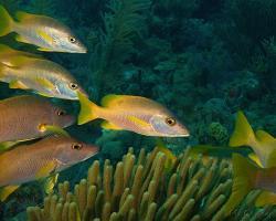 Chňapal žlutoploutvý - Lutjanus apodus - schoolmaster snapper
