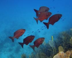 Tloušťovka bermudská - Kyphosus sectatrix - Bermuda sea chub