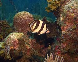 Klipka příčnopruhá - Chaetodon striatus - banded butterflyfish