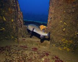 Ježík obecný - Diodon hystrix - spot-fin porcupinefish