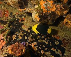 Pomec tříbarevný - Holacanthus tricolor - Rock Beauty Angelfish
