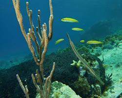 Trubkotlamka skvrnitá - aulostomus maculatus - Trumpetfish