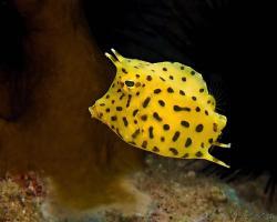 Havýš trnohřbetý - Lactoria fornasini - Thornback cowfish