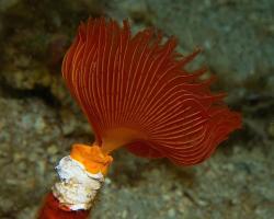 rournatec - Protula tubularia - polychaete worm