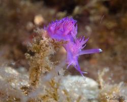 flabelína fialová - Flabellina affinis - aeolid nudibranch