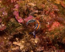 elysa proužkovaná - Thuridilla hopei - sacoglossan sea slug