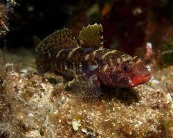hlaváč krvavý - Gobius cruentatus - Red-mouthed goby
