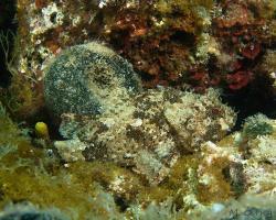 ropušnice skvrnitá - Scorpaena porcus - Black scorpionfish