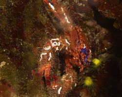 polokrab ostnitý - Galathea strigosa - Squat Lobster