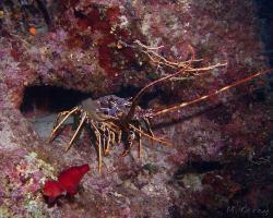 langusta evropská - palinurus elephas - European spiny lobster