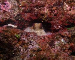 chobotnice pobřežní - Octopus vulgaris - common octopus