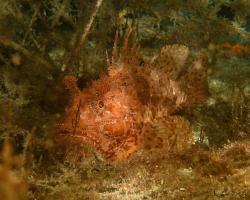 ropušnice obecná - Scorpaena scrofa - Red scorpionfish