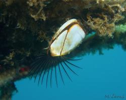 vilejš husí - Lepas anserifera - Goose barnacle