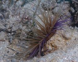červnatec sasankový - Cerianthus membranaceus - Tube-dwelling Anemone