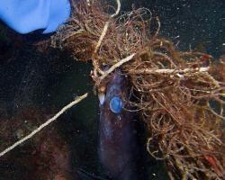 úhořovec mořský - Conger conger - Europeanconger