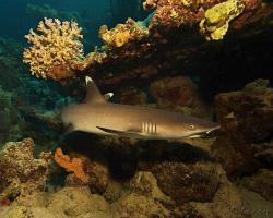 žralok lagunový - Triaenodon obesus - whitetip reef shark