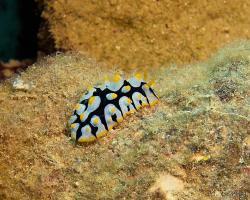 nahožábrý plž - Phyllidia rueppelii - dorid nudibranch