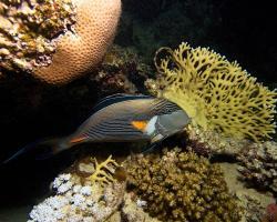 bodlok rudomořský - Acanthurus sohal - Sohal surgeonfish