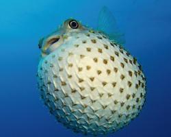 ježík žlutoskvrnný - Cyclichthys spilostylus - spotbase burrfish